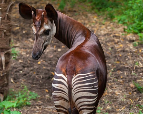 In the Midst of Political Turmoil, Can Congo's Okapi Be Saved?